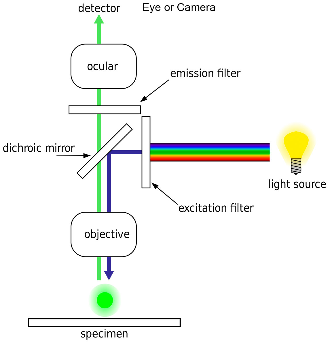 diagram by H. Mühlpfordt Wikipedia showing the basic structure of an Epi-fluorescence light microscope