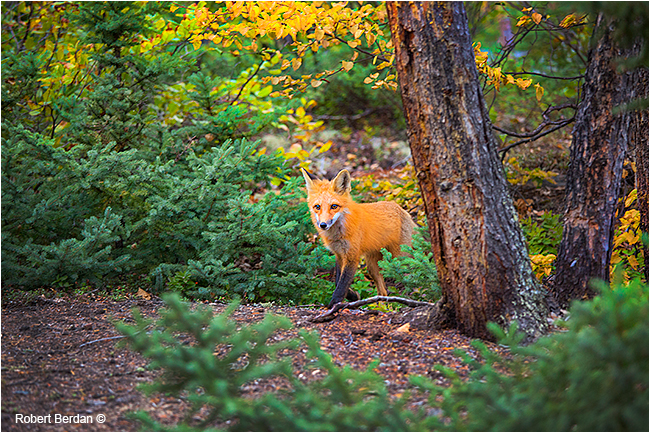 Red fox emerging from forest by Robert Berdan ©