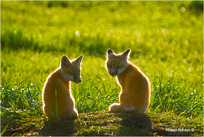 Baby red foxes backlighting by Robert Berdan ©