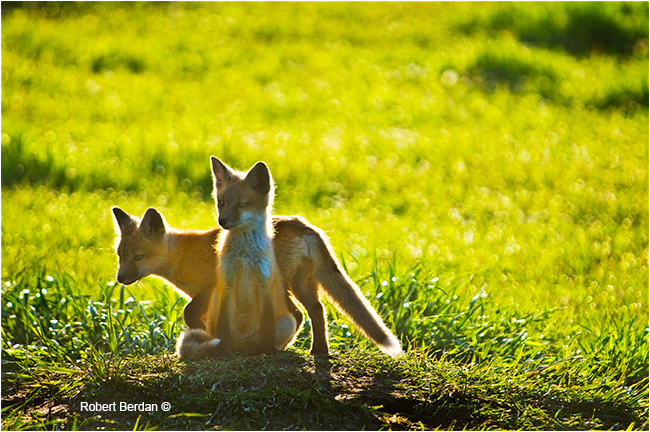 Baby red foxes by Robert Berdan ©