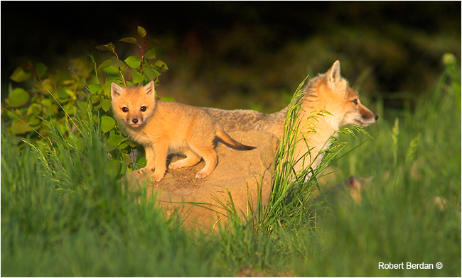 Adult and young kit Swift fox by Robert Berdan ©