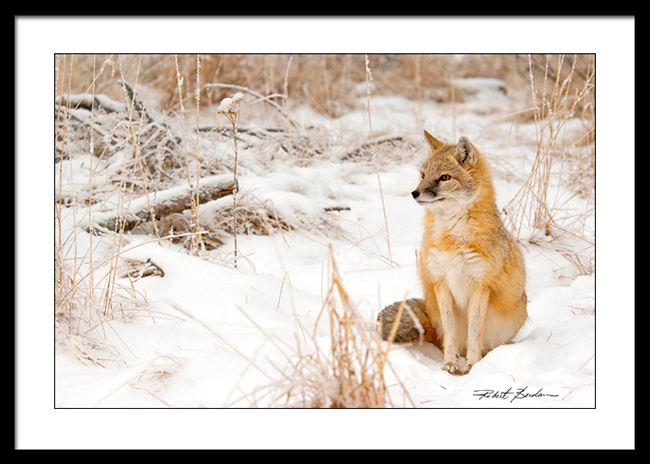 Swift fox in winter framed and matted by Robert Berdan - print for sale ©
