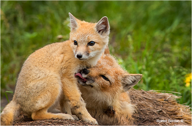 Swift fox young and mother by Robert Berdan ©