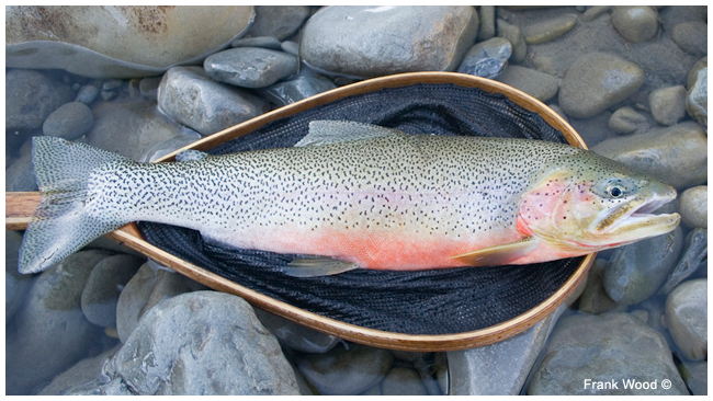 Trout on Net by Frank Wood ©