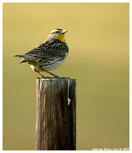 Meadow Lark by G. Ehnes-Lilly ©