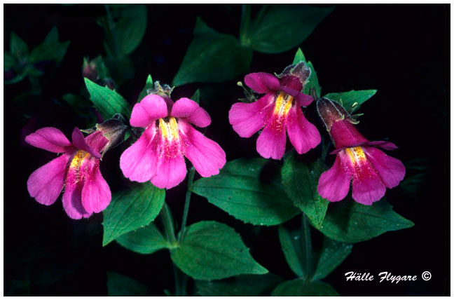 Red Monkey Flowers by Halle Flygare ©