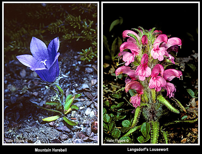 Mountain Harebell and Langsdorf's Lousewort by Halle Flygare ©