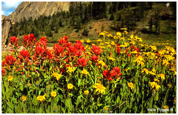 Indian Paintbrush and Balsam root by Halle Flygare
