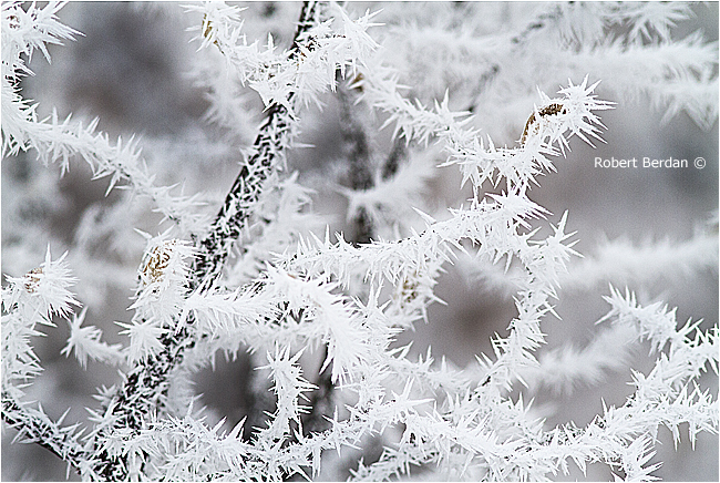 Ice crystals - hoar frost on branches by Robert Berdan ©