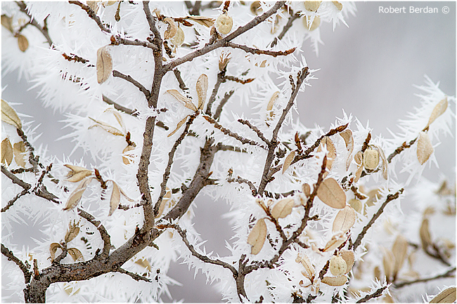 Hoar frost on shrub by Robert Berdan ©