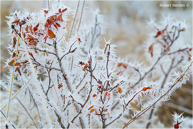 Leaves and shrub covered in Hoar frost by Robert Berdan ©