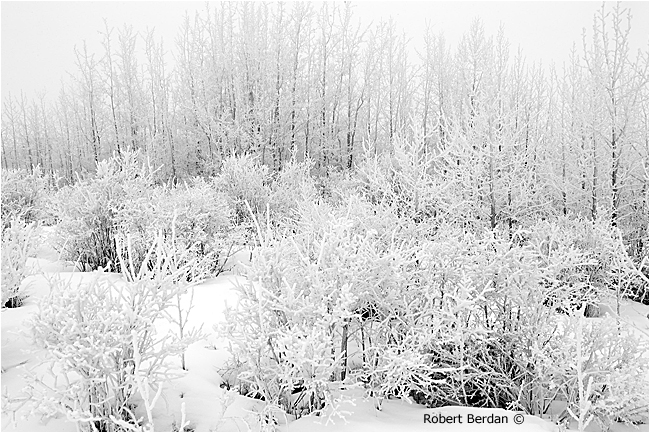 Aspen trees and shrubs covered in hoar frost by Robert Berdan
