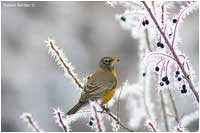 Robin feeding on Saskatoon berries covered in hoar frost by Robert Berdan ©