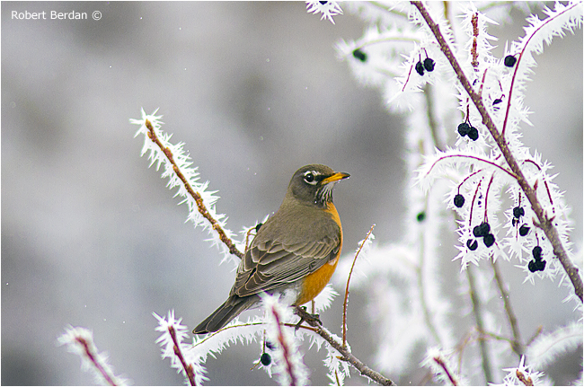 Robin on branches covered in hoar frost by Robert Berdan ©