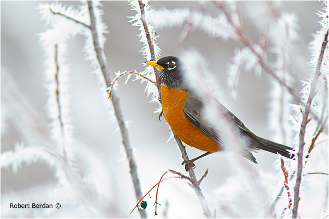Robin in branches covered in hoar frost.