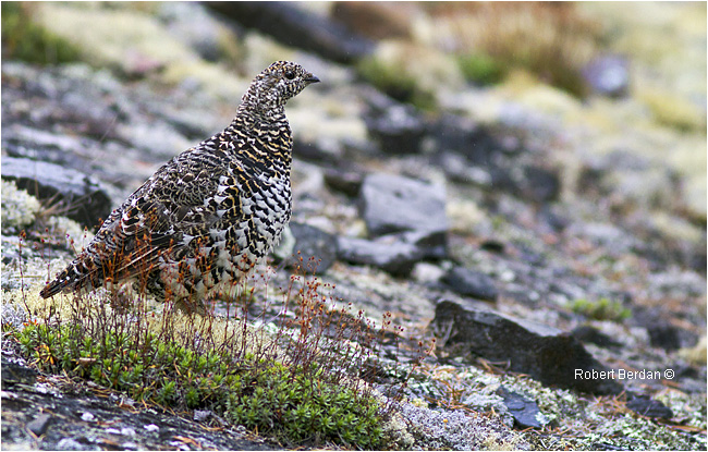 Spruce grouse photographed along the Ingraham trail, NWT by Robert Berdan