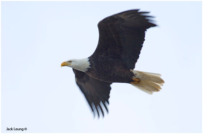 Eagle in flight, Jack Leung ©