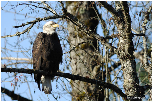 Bald Eagle by Jack Leung ©