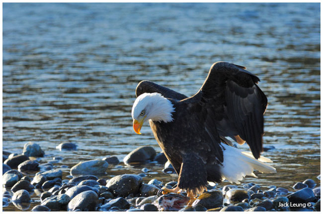 Eagle on salmon, by Jack Leung ©