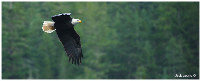Bald Eagle in flight, by Jack Leung ©