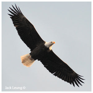 Bald eagle wings spread, Jack Lueng ©