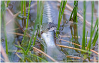Snake with fish in its mouth by Simon Jackson ©