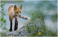 Fox by D. Simon Jackson ©