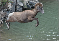 Bighorn sheep jumping over water by D. Simon Jackson ©