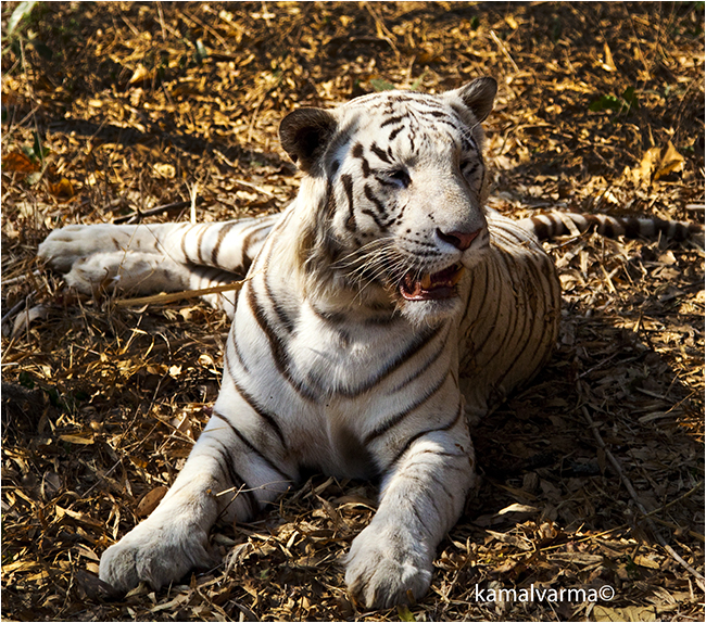 Tiger in Bannerghatta National Park by Kamal Varma ©