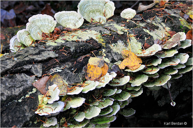 Turkey Polypore fungus by Karl Berdan ©