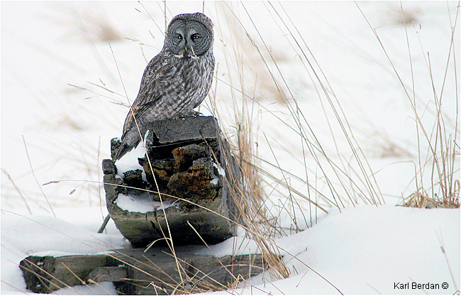 Great Gray Owl on log in winter by Karl Berdan ©