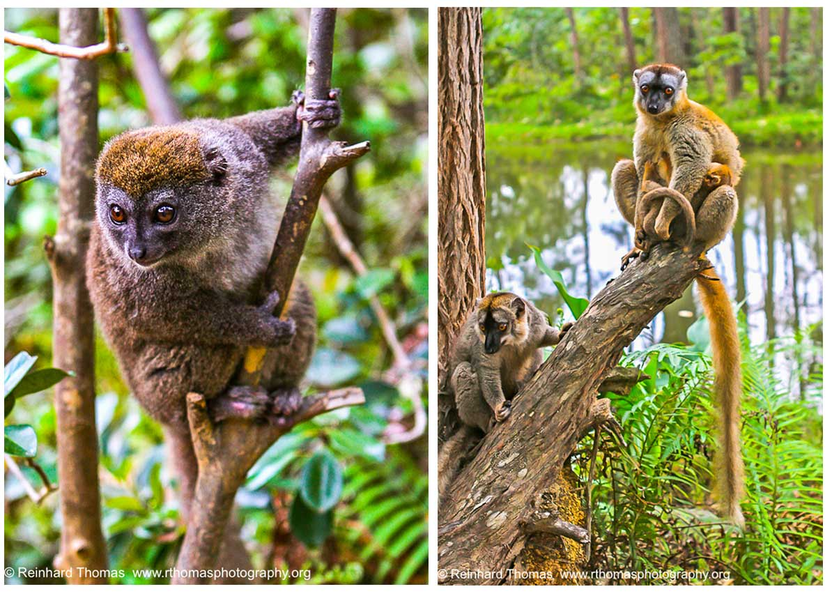 Lemurs by Reinhard Thomas ©