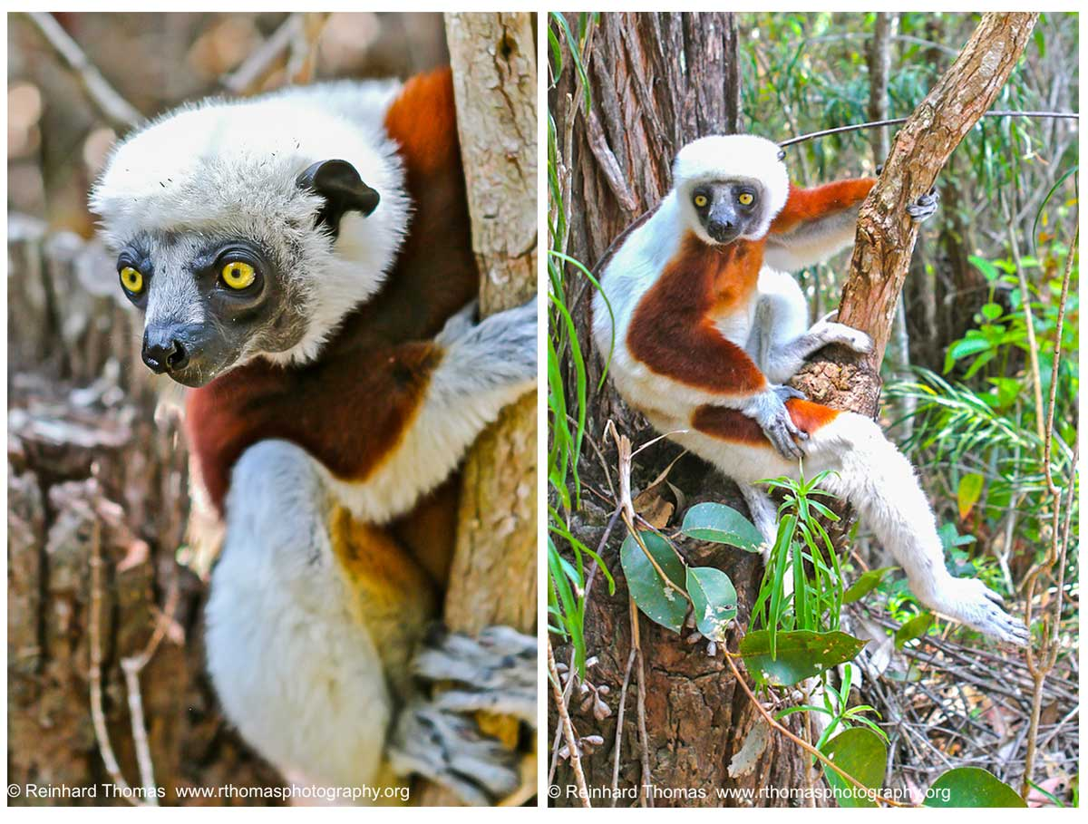 Madagascar Lemurs  by Reinhard Thomas ©