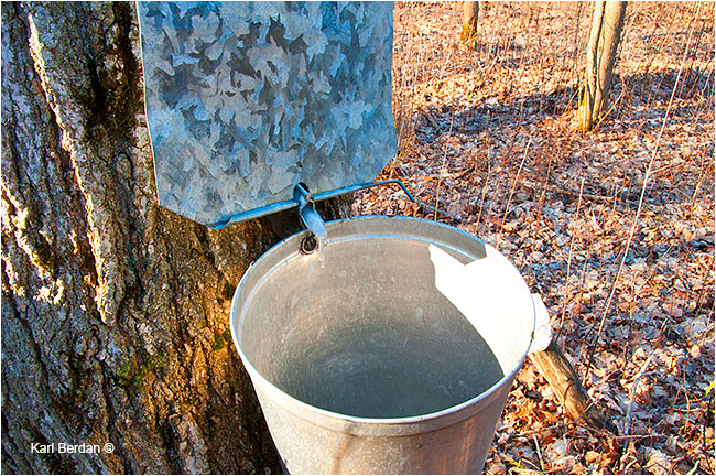 Maple sap dripss into bucket by Karl Berdan ©