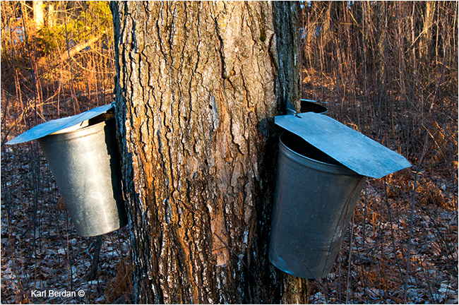 Buckets hanging from Maple tree by Karl Berdan ©