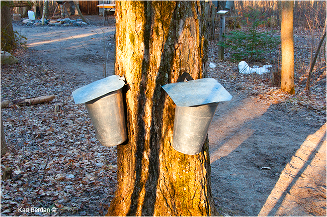 Metal  buckets attached to sugar maple by Karl Berdan ©