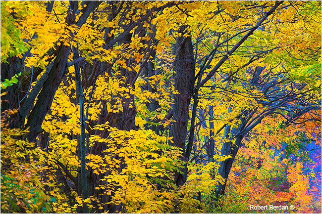 Sugar maples line the road in autumn by Robert Berdan ©