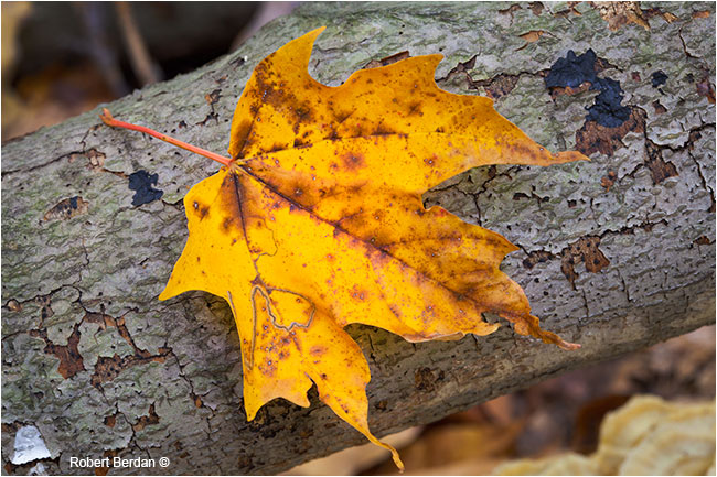Yellow maple leaf from sugar maple by Robert Berdan ©