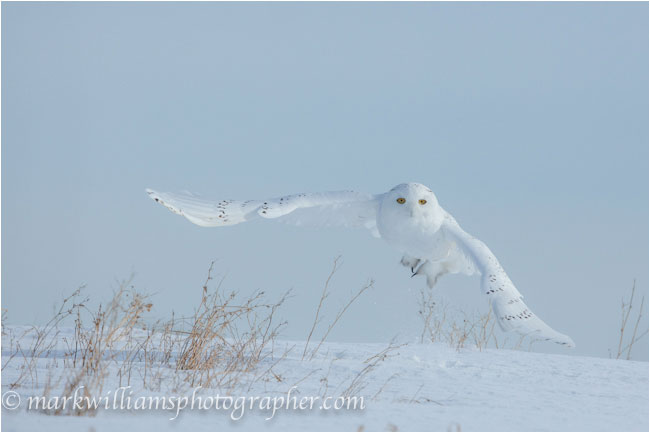 adult male snowy owl taking off by Mark Williams ©