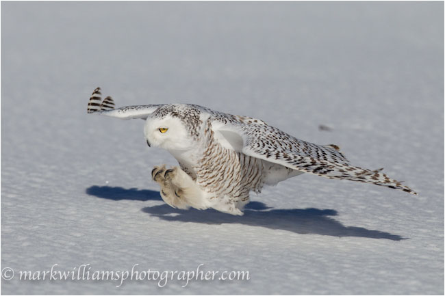 Finding Snowy Owls in Winter Mark Williams - The Canadian ...