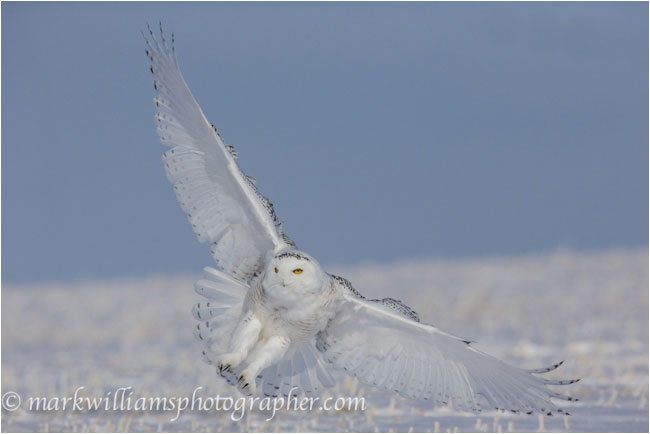 Sub adult male snowy owl landing by Mark Williams ©