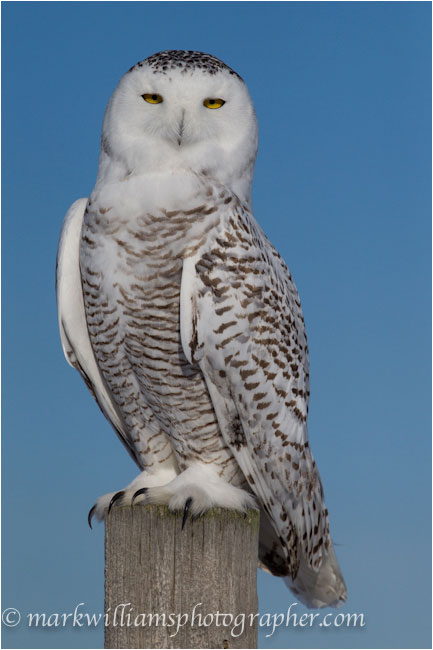 female snowy owl on post by Mark Williams ©
