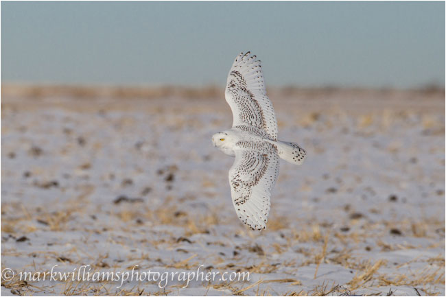 Immature snowy owl in flight by Mark Williams ©