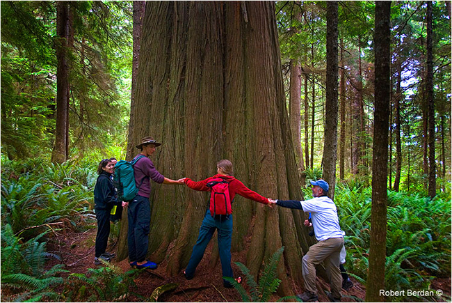 Group of hikers holds hands around the trunk of a red cedar by Robert Berdan ©