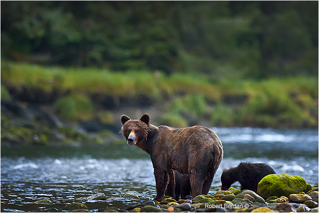 Grizzly sow and cub in Mussel Inlet by Robert Berdan ©