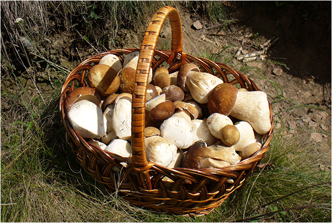 Boletus edulis mushrooms in a basket