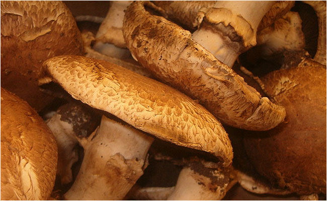 economic importance of funghi The economic importance of fungi refers to both the advantages and disadvantages of fungi fungi are one of the most important microorganisms in our environment the play a number of important roles in medicine and in commercial agriculture.