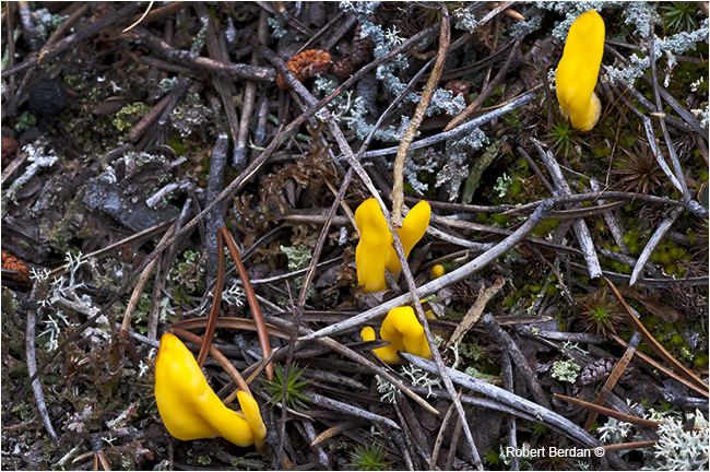 Yellow fairy Fan Spathularia flvida, earth tongue by Robert Berdan Yellowknife, NT by Robert Berdan ©