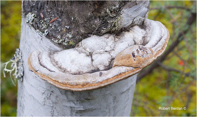 Polypore growing on birch tree by Robert Berdan ©