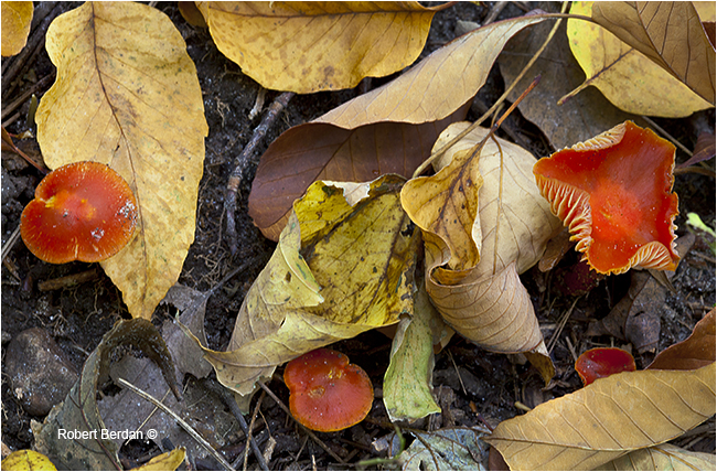 Red-orange gilled mushroom unidentified by Robert Berdan ©